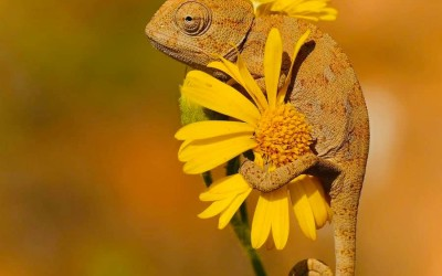 The Chameleon 🦎